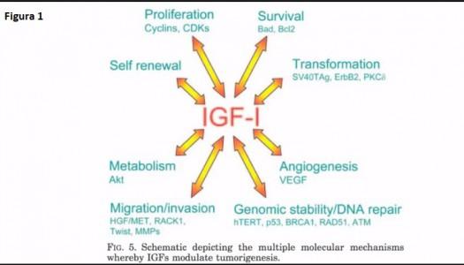somatomedina c igf 1