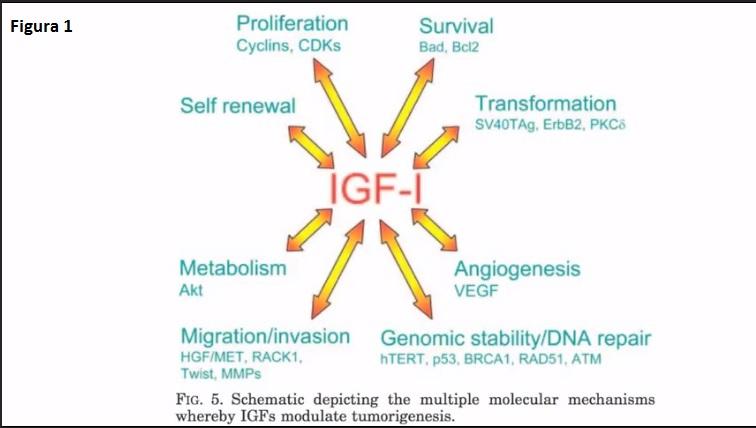 igf-1 1